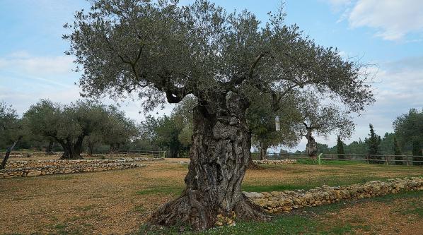 西班牙皇室千年橄榄园